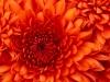 chrysanthemum_0