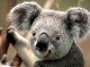 koala_0